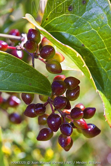 Rough Bindweed (Smilax aspera) fruit, Province of Tarragona Province, Spain, March  -  Juan Manuel Borrero/ npl