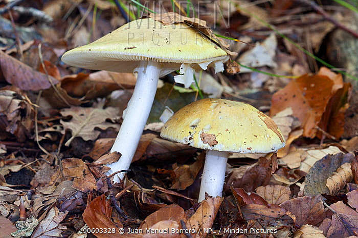 Death Cap (Amanita phalloides) Pyrenees, Lleida Province, Spain, October  -  Juan Manuel Borrero/ npl