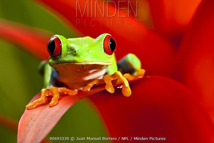 Red-eyed Treefrog (Agalychnis callidryas) on red bromeliad flower, captive from South America  -  Juan Manuel Borrero/ npl