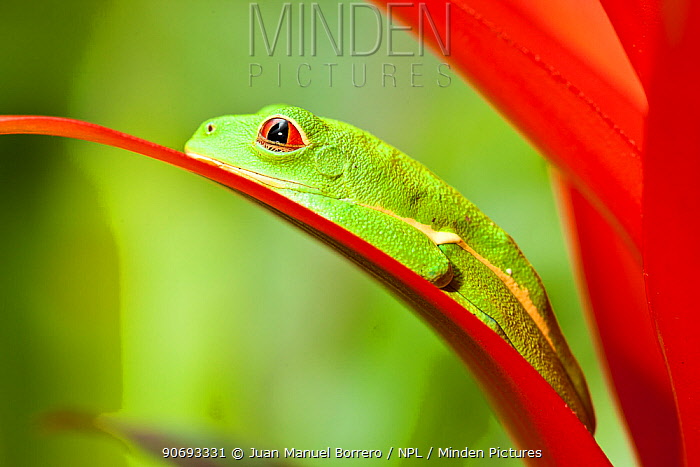 Red-eyed Treefrog (Agalychnis callidryas) resting on bromeliad flower, captive from South America  -  Juan Manuel Borrero/ npl