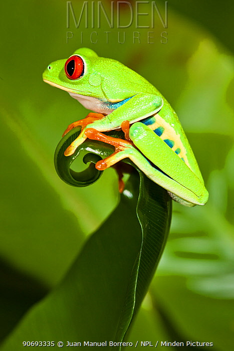 Red-eyed Treefrog (Agalychnis callidryas) on leaf, captive, from South America  -  Juan Manuel Borrero/ npl