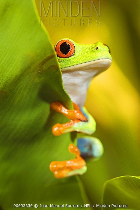 Red-eyed Treefrog (Agalychnis callidryas) peering from behind a leaf, captive from South America  -  Juan Manuel Borrero/ npl