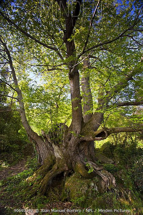 Ancient sweet chestnut tree (Castanea sativa) Rocacorba, Girona Province, Spain, May  -  Juan Manuel Borrero/ npl