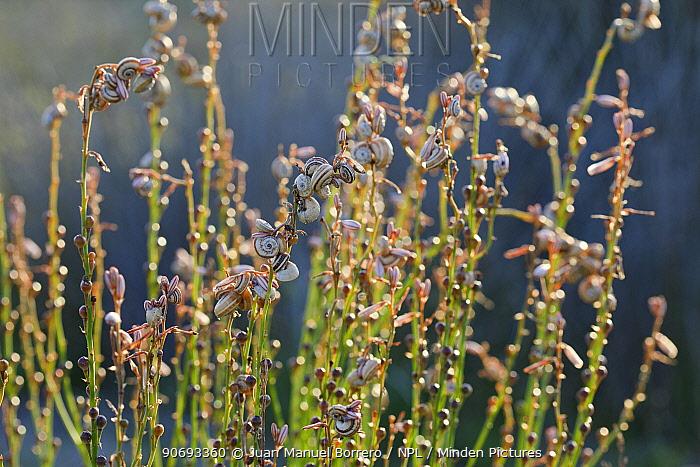 Snails (Cepea sp) on vegetation, Els Muntanyans, Tarragona Province, Spain, April  -  Juan Manuel Borrero/ npl