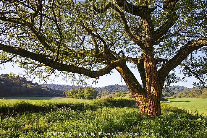 Walnut tree (Juglans regia) Miralles Mountain Range, Barclelona province, Spain, April  -  Juan Manuel Borrero/ npl