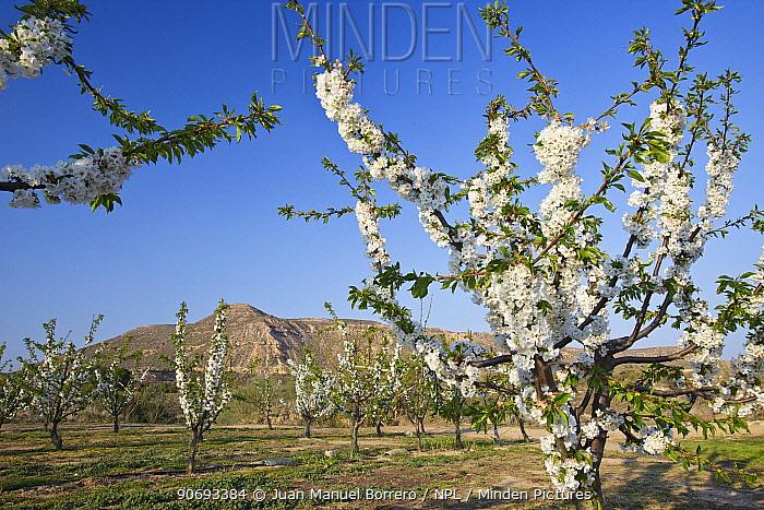 Cherry tree orchard (Prunus sp)in blossom, Montllober Area, Lleida Province, Spain, March  -  Juan Manuel Borrero/ npl