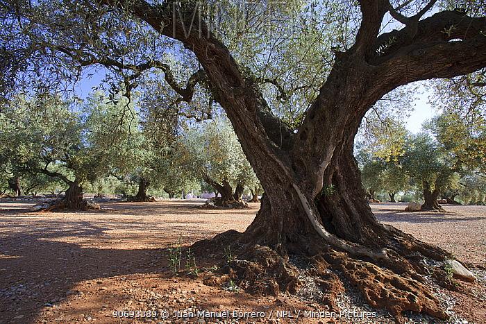Olive trees (Olea europaea) in grove, Montsia, Tarragona Province, Spain, May  -  Juan Manuel Borrero/ npl