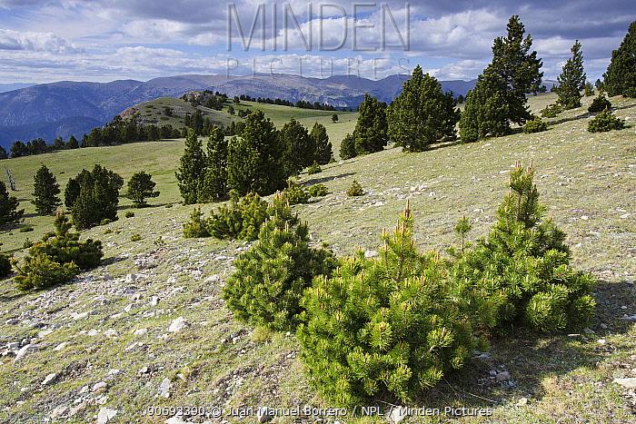 El Verd Mountain Range landscape with pine trees, Pyrenees, Lleida Province, Spain, June 2012  -  Juan Manuel Borrero/ npl