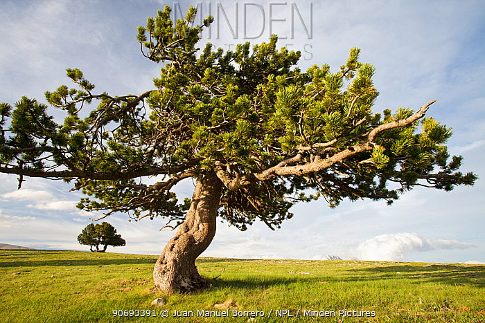 Mountain Pine (Pinus mugo uncinata ) in El Verd Mountain Range, Pyrenees, Lleida Province, Spain, June  -  Juan Manuel Borrero/ npl