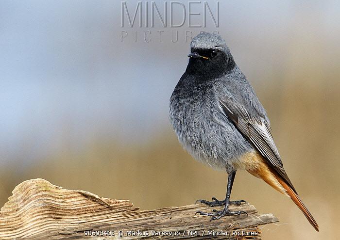 Black Redstart (Phoenicurus ochruros) profile portrait, Uto Finland April  -  Markus Varesvuo/ npl