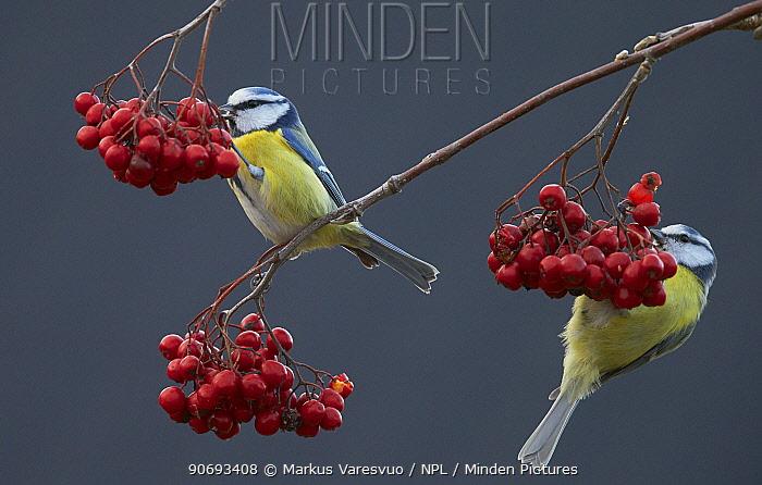 Blue tits (Paris caereleus) two feeding on red berries, Uto Finland October  -  Markus Varesvuo/ npl