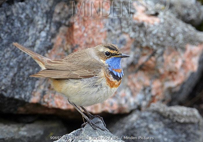 Bluethroat (Lusciania svecica) Uto Finland May  -  Markus Varesvuo/ npl