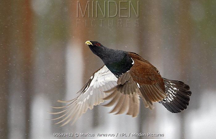 Capercaillie (Tetrao urogallus) in flight, Rokua Finland February  -  Markus Varesvuo/ npl