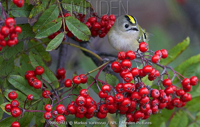 Goldcrest (Regulus regulus) eating berries, Uto Finland September  -  Markus Varesvuo/ npl