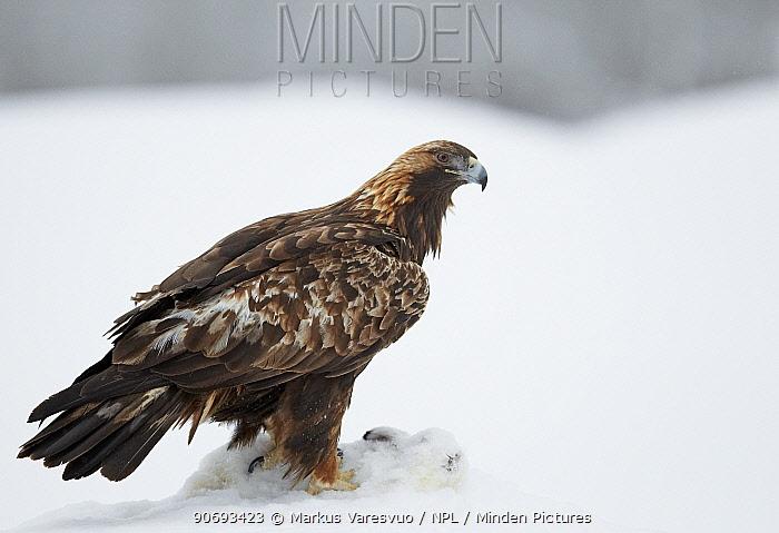 Golden Eagle (Aquila chrysaetos) in snow, on mountain hare prey, Kuusamo Finland February  -  Markus Varesvuo/ npl