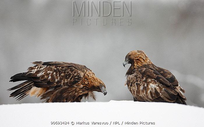 Golden Eagle (Aquila chrysaetos) two on snow covered ground, Kuusamo Finland February  -  Markus Varesvuo/ npl