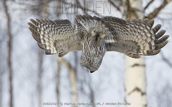 Great Grey Owl (Strix nebulosa) swooping down on potential prey, Rovaniemi Finland March  -  Markus Varesvuo/ npl