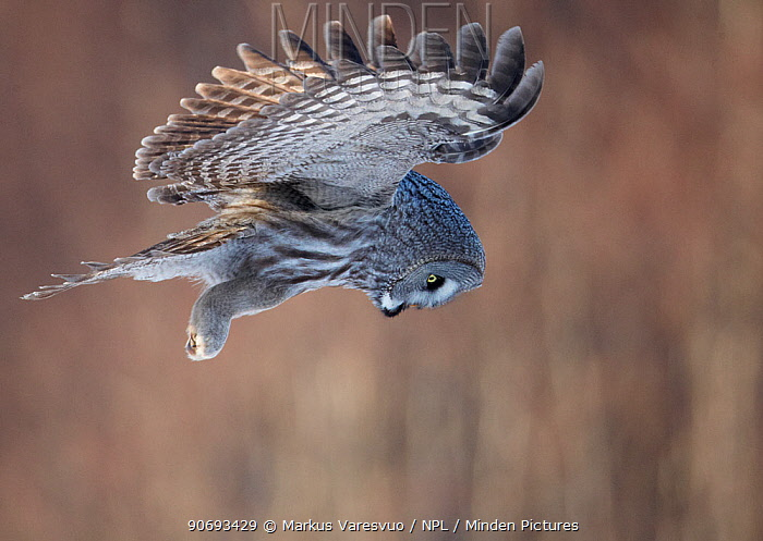 Great Grey Owl (Strix nebulosa) hovering and watching for prey, hunting behaviour, Rovaniemi Finland March  -  Markus Varesvuo/ npl