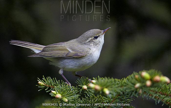 Greenish Warbler (Phylloscopus trochiloides) portrait, Paljakka Finland June  -  Markus Varesvuo/ npl