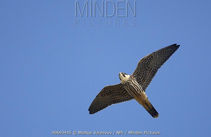 Hobby (Falco subbuteo) underside view of juvenile in flight, Sweden September  -  Markus Varesvuo/ npl
