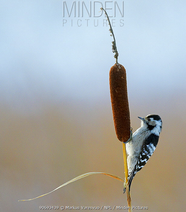 Lesser Spotted Woodpecker (Dendrocopus minor) on bullrush, Uto Finland October  -  Markus Varesvuo/ npl