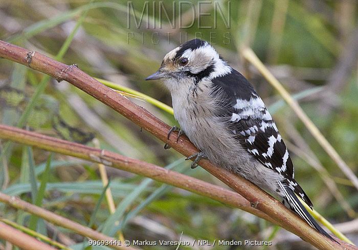Lesser Spotted Woodpecker (Dendrocopus minor) Uto Finland October  -  Markus Varesvuo/ npl