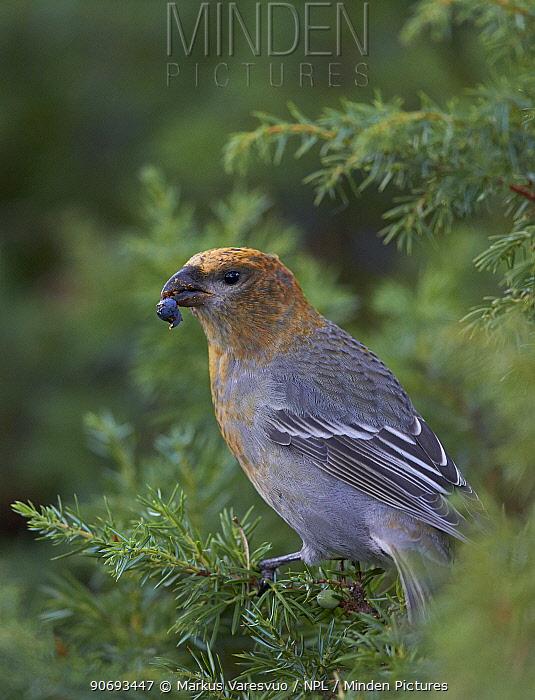 Pine Grosbeak (Pinicola enucleator) feeding on Juniper berries, Uto Finland October  -  Markus Varesvuo/ npl