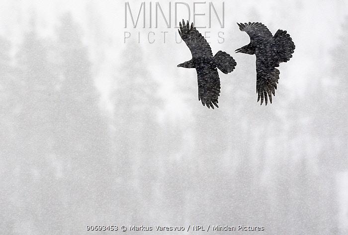 Common Raven (Corvus corax) two in flight during snow storm, Kuusamo, Finland April  -  Markus Varesvuo/ npl
