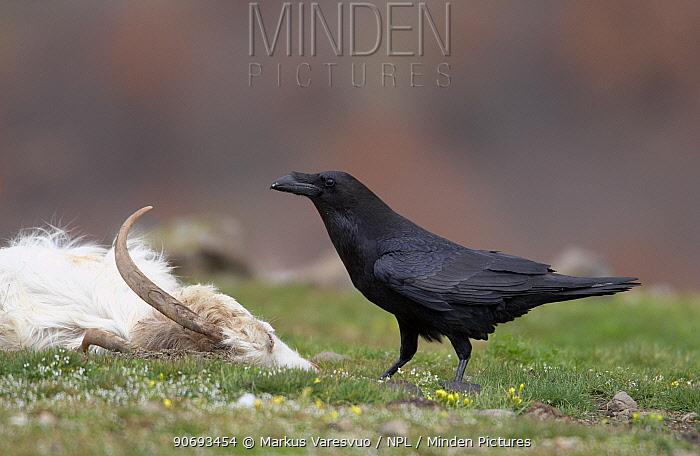 Common Raven (Corvus corax) near goat, sheep carcass, Bulgaria February  -  Markus Varesvuo/ npl