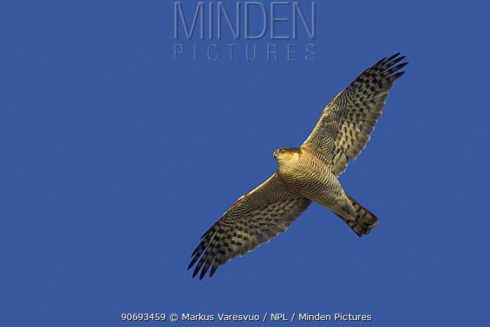 Sparrowhawk (Accipiter nisus) underside view of adult in flight, Latvia April  -  Markus Varesvuo/ npl