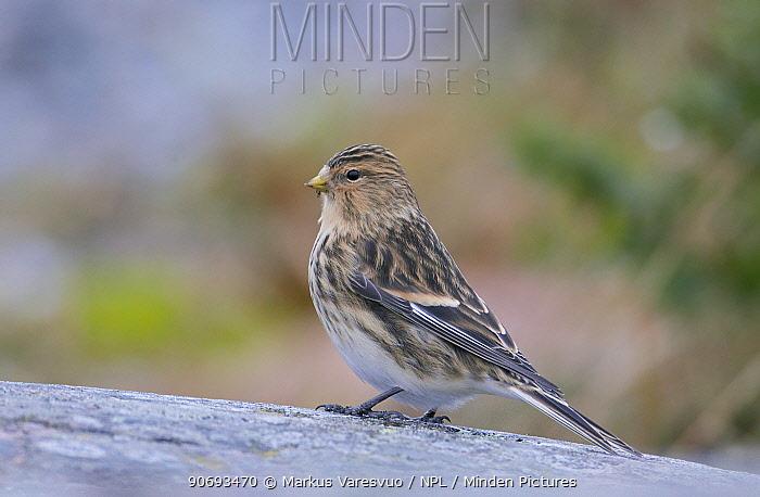 Twite (Carduelis flavirostris) profile portrait, Uto Finland November  -  Markus Varesvuo/ npl