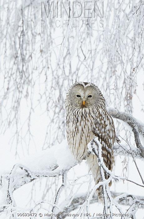 Ural Owl (Stix uralensis) perched in snowy tree, Kuusamo Finland February  -  Markus Varesvuo/ npl