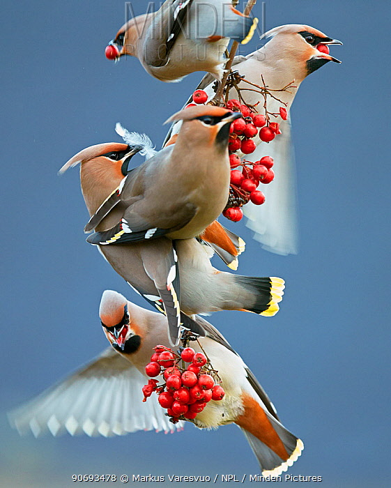 Bohemian waxwings (Bombycilla garrulus) feeding on berries, Uto Finland October  -  Markus Varesvuo/ npl