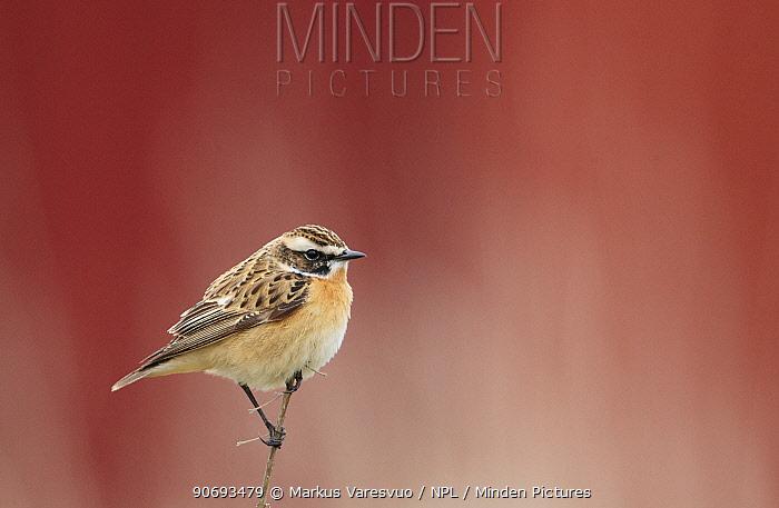 Whinchat (Saxicola rubetra) profile portrait, Uto Finland May  -  Markus Varesvuo/ npl