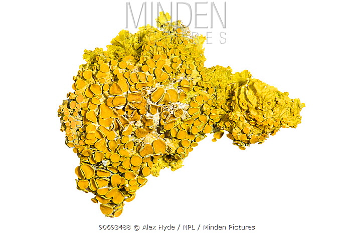 Lichen (Xanthoria parietina) photographed on a white background This species is very resistant to air pollution Peak District National Park, UK, January  -  Alex Hyde/ npl