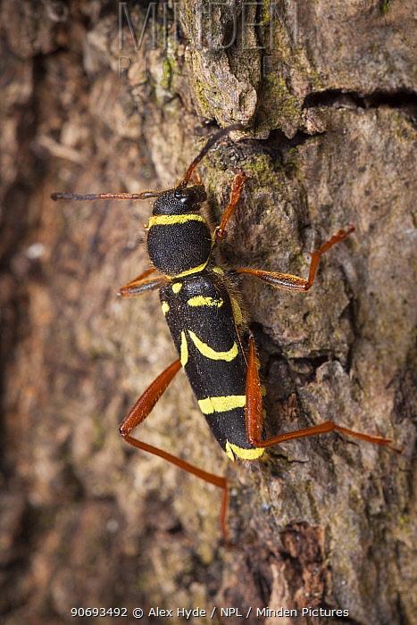 Wasp Beetle (Clytus arietis) a wasp mimic on bark, Peak District National Park, Derbyshire, UK April  -  Alex Hyde/ npl
