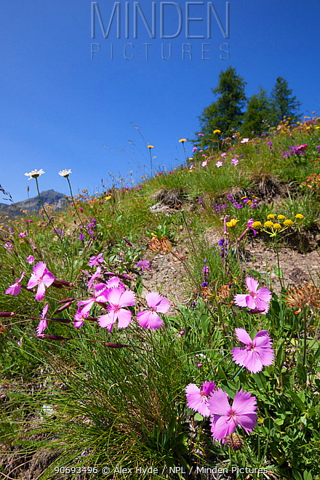 Wood Pink (Dianthus sylvestris) in foreground of flowering alpine meadow at 200m altitude, Aosta Valley, Monte Rosa Massif, Pennine Alps, Italy July  -  Alex Hyde/ npl