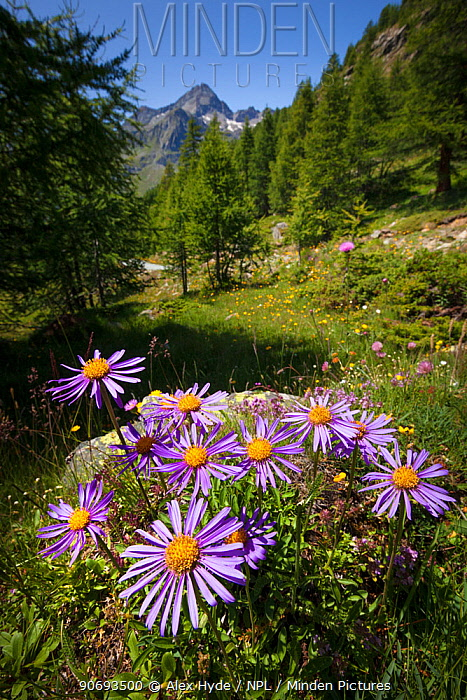 Alpine Aster (Aster alpinus), Aosta Valley, Monte Rosa Massif, Pennine Alps, Italy July  -  Alex Hyde/ npl