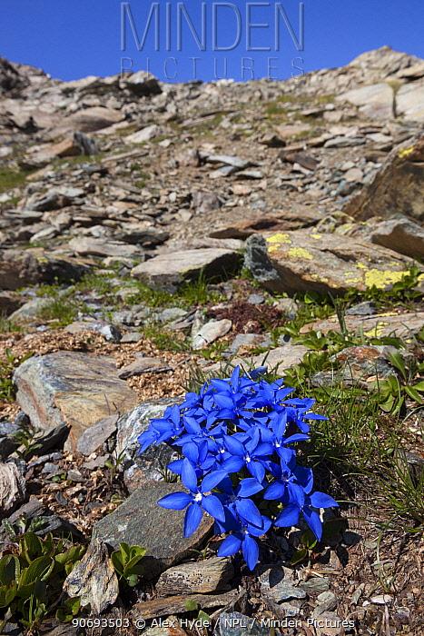 Spring Gentian (Gentiana verna subsp verna) flowering on mountainside of Aosta Valley, Monte Rosa Massif, Pennine Alps, Italy July  -  Alex Hyde/ npl