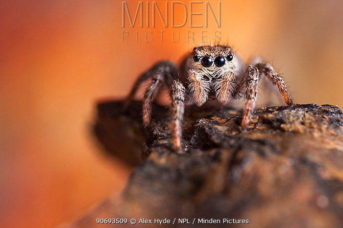 Jumping Spider (Sitticus sp) found on a mountain ridge at 2800 metres altitude, Aosta Valley, Monte Rosa Massif, Pennine Alps, Italy  -  Alex Hyde/ npl