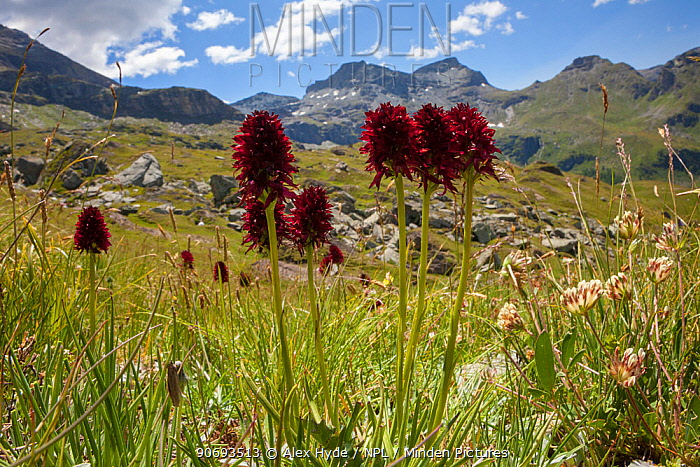 Black Vanilla Orchids (Gymnadenia nigra) flowering in Aosta Valley, Monte Rosa Massif, Pennine Alps, Italy July  -  Alex Hyde/ npl