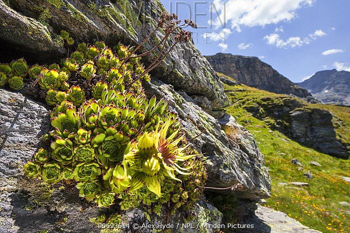 Houseleek (Sempervivum grandiflorum) growing on rocky outcrop in Aosta Valley, Monte Rosa Massif, Pennine Alps, Italy July  -  Alex Hyde/ npl