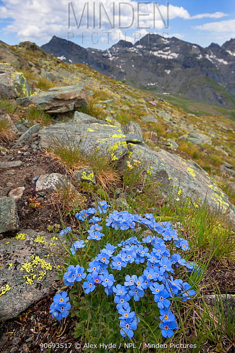 King of the Alps (Eritrichium nanum) growing on mountainside in Aosta Valley, Monte Rosa Massif, Pennine Alps, Italy July  -  Alex Hyde/ npl