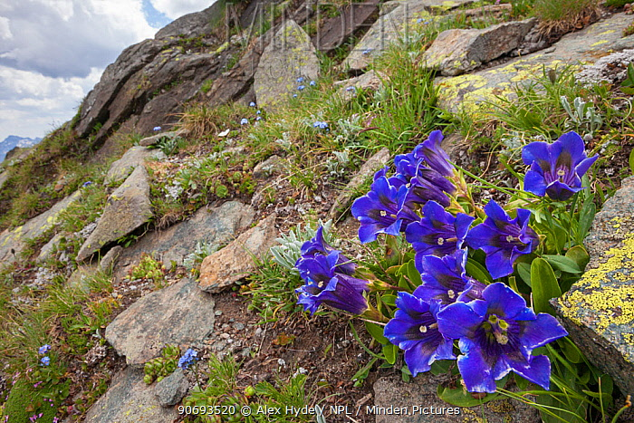 Trumpet, Stemless Gentian (Gentiana acaulis) growing amongst rocks in Aosta Valley, Monte Rosa Massif, Pennine Alps, Italy July  -  Alex Hyde/ npl