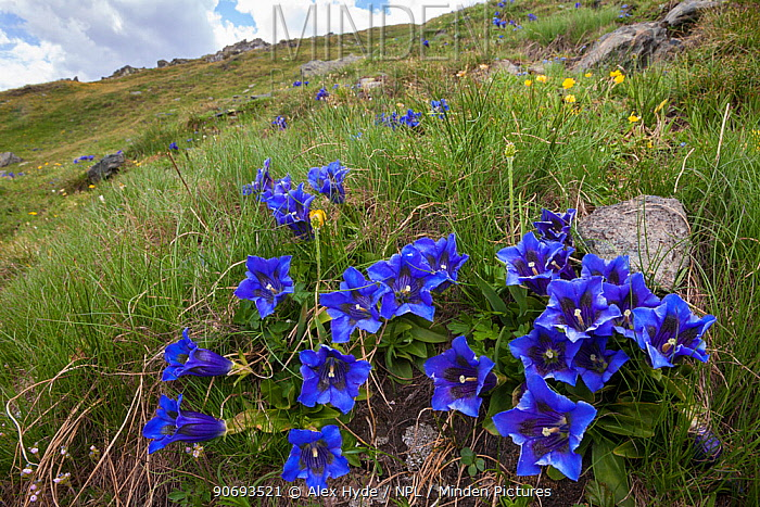 Trumpet, Stemless Gentian (Gentiana acaulis) Aosta Valley, Monte Rosa Massif, Pennine Alps, Italy July  -  Alex Hyde/ npl