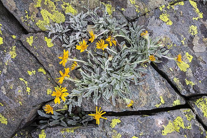 Haller's Ragwort (Senecio halleri) flowering, Aosta Valley, Monte Rosa Massif, Pennine Alps, Italy July  -  Alex Hyde/ npl
