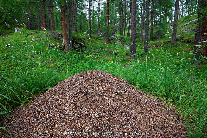 Wood Ant (Formica rufa) nest constructed from pine needles and other debris from the forest floor Aosta Valley, Monte Rosa Massif, Pennine Alps, Italy July  -  Alex Hyde/ npl
