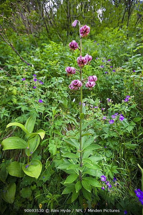 Martagon lily, Turk's cap lily (Lilium martagon) flowering Aosta Valley, Monte Rosa Massif, Pennine Alps, Italy July  -  Alex Hyde/ npl
