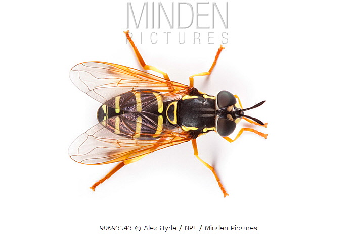 Prong horn Hoverfly (Chrysotoxum festivum), a wasp mimic, photographed on a white background, Aosta Valley, Monte Rosa Massif, Pennine Alps, Italy July  -  Alex Hyde/ npl
