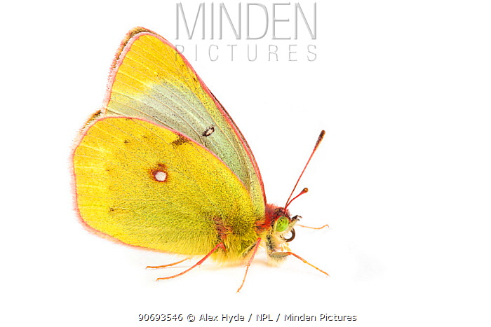 Mountain Clouded Yellow (Colias phicomone) photographed on a white background, Aosta Valley, Monte Rosa Massif, Pennine Alps, Italy July  -  Alex Hyde/ npl